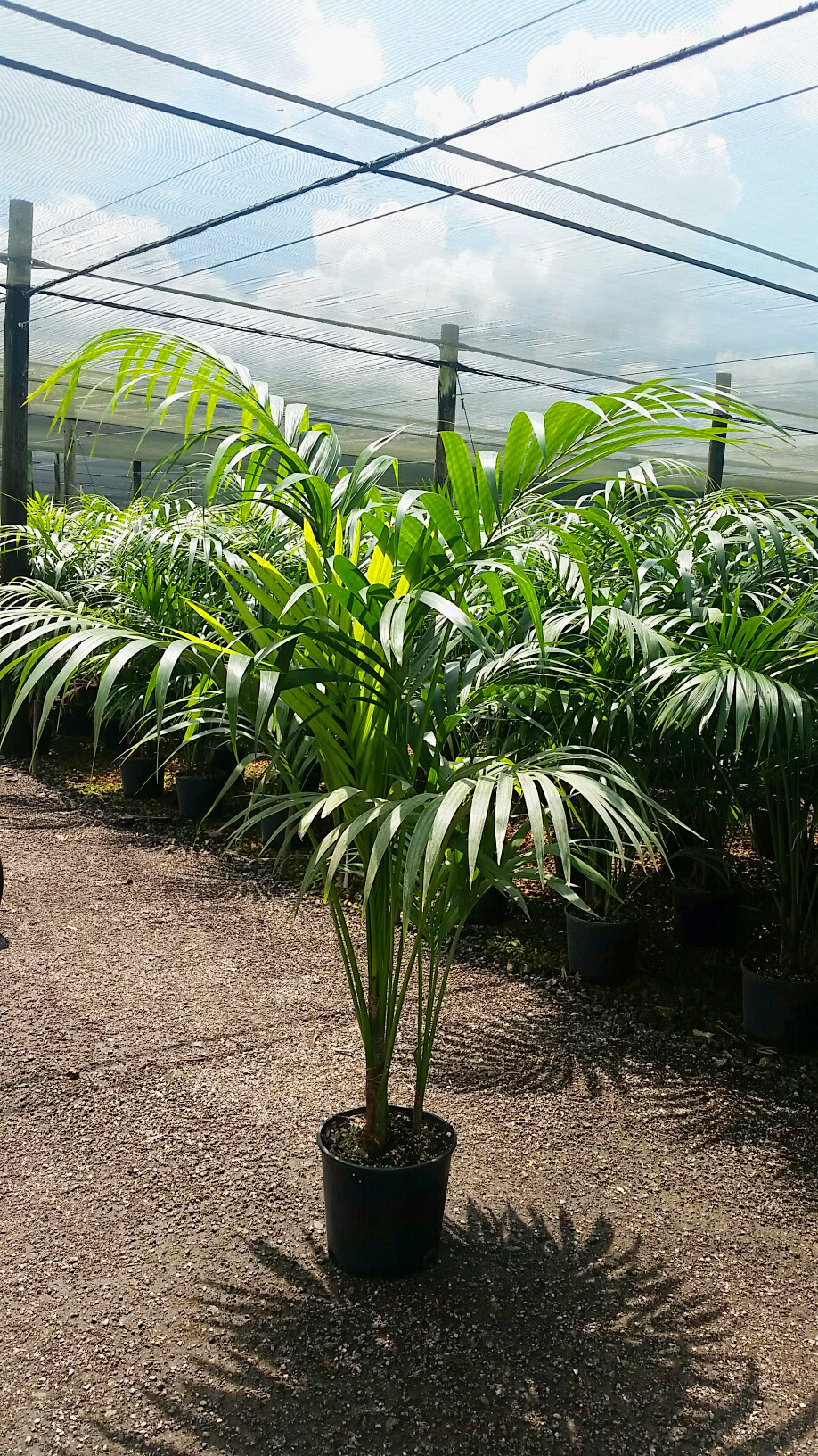 10-inch-kentia-palm